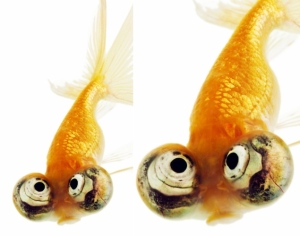 blog - uglycelestial-eyed-gold-fish